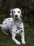 Dalmatian Variety of Domestic Dog