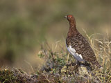 Willow Ptarmigan in Summer Plumage  Lagopus Lagopus  Canada