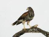 Juvenile Harris's Hawk  Parabuteo Unicinctus  Western USA