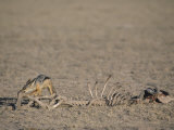 Black-Backed Jackal  Canis Mesomelas  Scavenging from an Old Kill  Masai Mara  Kenya  Africa