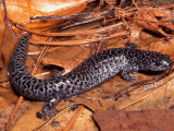 Flatwoods Salamander (Ambystoma Cingulatum)  a Threatened Species  Eastern USA