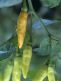 Tabasco Peppers Developing