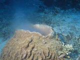 Giant Barrel Sponge Spawning  Xestospongia Testudinaria  Phylum Porifera  Malaysia