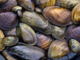 Freshwater Mussels from the Ohio River Drainage, USA Papier Photo par Gary Meszaros