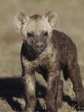 Young Spotted Hyena  Crocuta Crocuta  East Africa