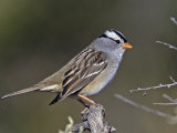 White-Crowned Sparrow (Zonotrichia Leucophrys)  North America