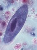 Paramecium  Phase