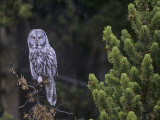 Great Gray Owl in a Coniferous Forest (Strix Nebulosa) Yellowstone National Park  Wyoming  USA