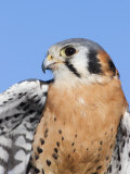 Male American Kestrel  Falco Sparverius  USA