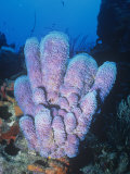 Azure Vase Sponge  Callyspongia Plicifera  Phylum Porifera  Caribbean