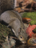 Gray Squirrel (Sciurus Carolinensis) Drinking  Eastern USA