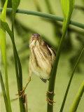 Least Bittern  Ixobrychus Exilis   USA