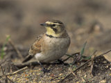 Horned Lark (Eremophila Alpestris)  California  USA