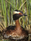 Horned Grebe on the Nest  Podiceps Auritus  North America