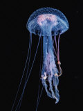 Luminescent Jellyfish  Pelagia Noctiluca  France  Mediterranean Sea