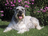 Giant Schnauzer Variety of Domestic Dog