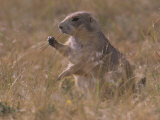 Black-Tailed Prairie Dog  Cynomys Ludovicianus  Wyoming  USA