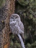 Great Gray Owl in a Coniferous Forest