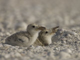 Black Skimmer  Rynchops Niger  Chicks on the Beach  Southern USA