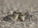 Black Skimmer  Rynchops Niger  Chicks on the Beach  Southern USA