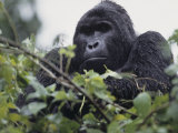 Male Mountain Gorilla  Gorilla Gorilla  an Endangered Species  Bwindi Forest  Uganda  Africa