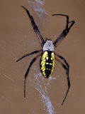 Black and Yellow Orb-Web Spider  Argiope Aurantia  on its Web