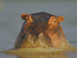Hippopatamus  Hippopotamus Amphibius  on the Surface of Lake Baringo  Kenya  Africa