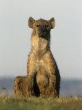 Spotted Hyena  Crocuta Crocuta  Masai Mara  Kenya