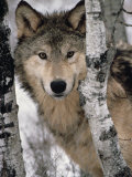 Gray Wolf, Canis Lupus, Staring from Behind the Trees, North America Papier Photo par Joe McDonald