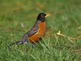 American Robin  Turdus Migratorius  North America