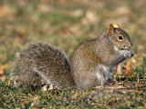 Eastern Gray Squirrel Eating a Seed (Sciurus Carolinensis)  Eastern USA