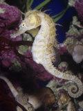 Seahorse (Hippocampus)