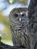 Barred Owl (Strix Varia)  Colorado  USA