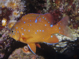 Garibaldi Juvenile (Hypsypops Rubicundus)  Southern California to Northern Mexico