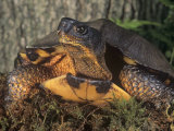 Wood Turtle  Clemmys Insculpta  Emydidae  a Threatened Species  North America