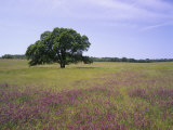 Single Tree in a Field of Wildflowers  Mariposa County  California  USA