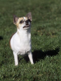 Chihuahua  Short Coat  Variety of Domestic Dog