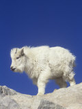 Mountain Goat Young (Oreamnos Americanus)  Rocky Mountains  North America
