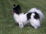 Papillon Variety of Domestic Dog