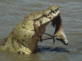 Nile Crocodile  Crocodylus Niloticus  with a Grant Gazelle in its Mouth  Kenya  East Africa