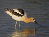 American Avocet Wading in Water and Probing for Food  Recurvirostra Americana  USA