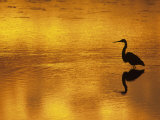 Silhouette of a Great Blue Heron  Ardea Herodias  Wading at Sunset  North America