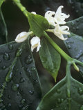 Flowers of Coffee  Coffea Arabica