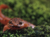 Northern Red Salamander (Pseudotriton Ruber)  Eastern North America