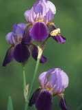 Blue Flag Iris Flowers (Iris Versicolor)  Northeastern North America