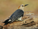 Female Golden-Fronted Woodpecker  Melanerpes Aurifrons  Texas  USA