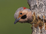 Northern Flicker at Nest Hole  Everglades National Park