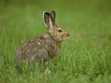 Snowshoe Hare in In its Brown Summer Fur  Lepus Americanus  North America