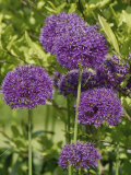Allium 'Purple Sensation' Flowers on Ornamental Garden Plants