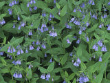 Chiming Bluebells  Mertensia Ciliata  Western North America